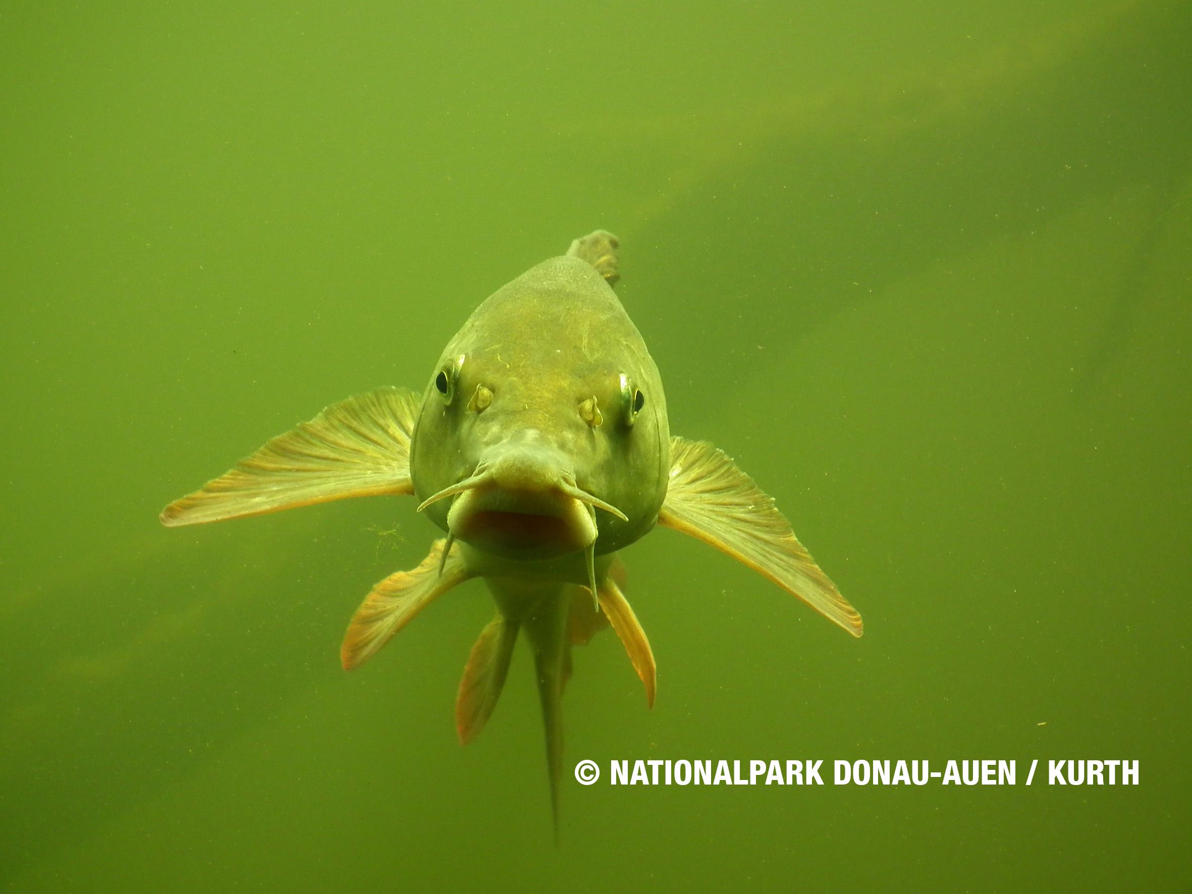 Die Fischarten der Donau